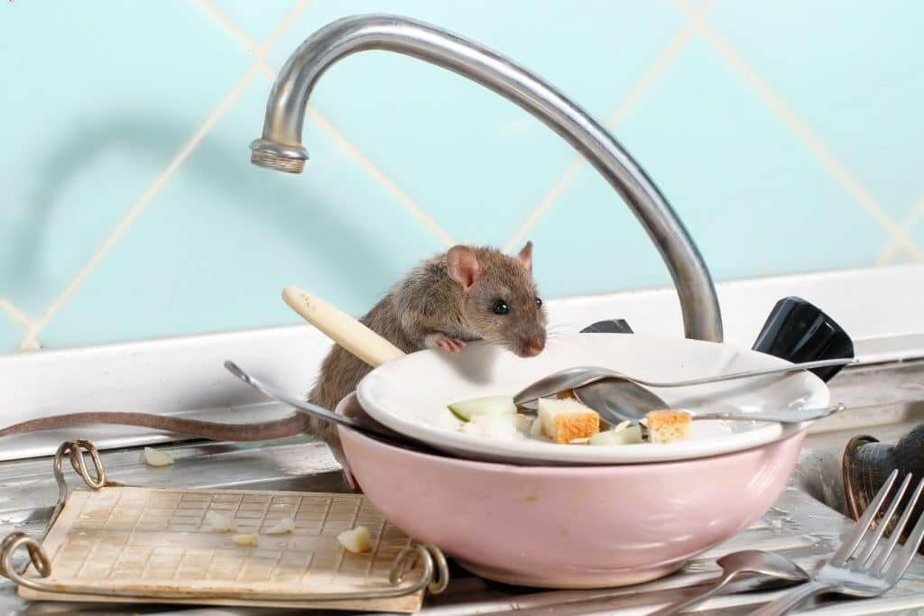 Mouse on a pile of dirty dishes in the sink.