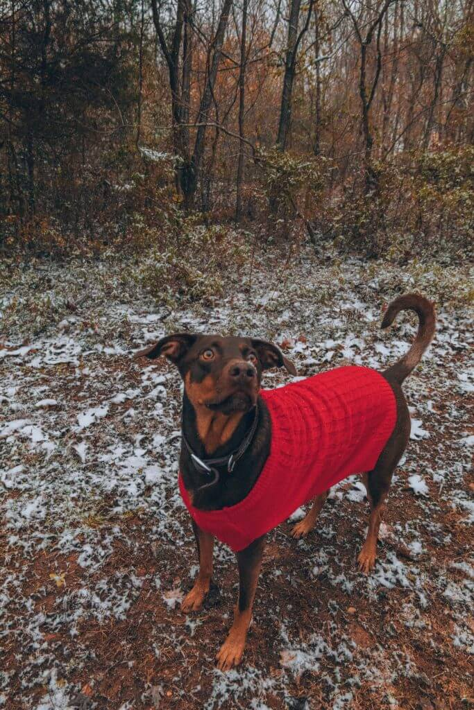 Dog with red sweater on standing in fresh snow.  RVers need pet insurance to protect them from getting sick in the cold.