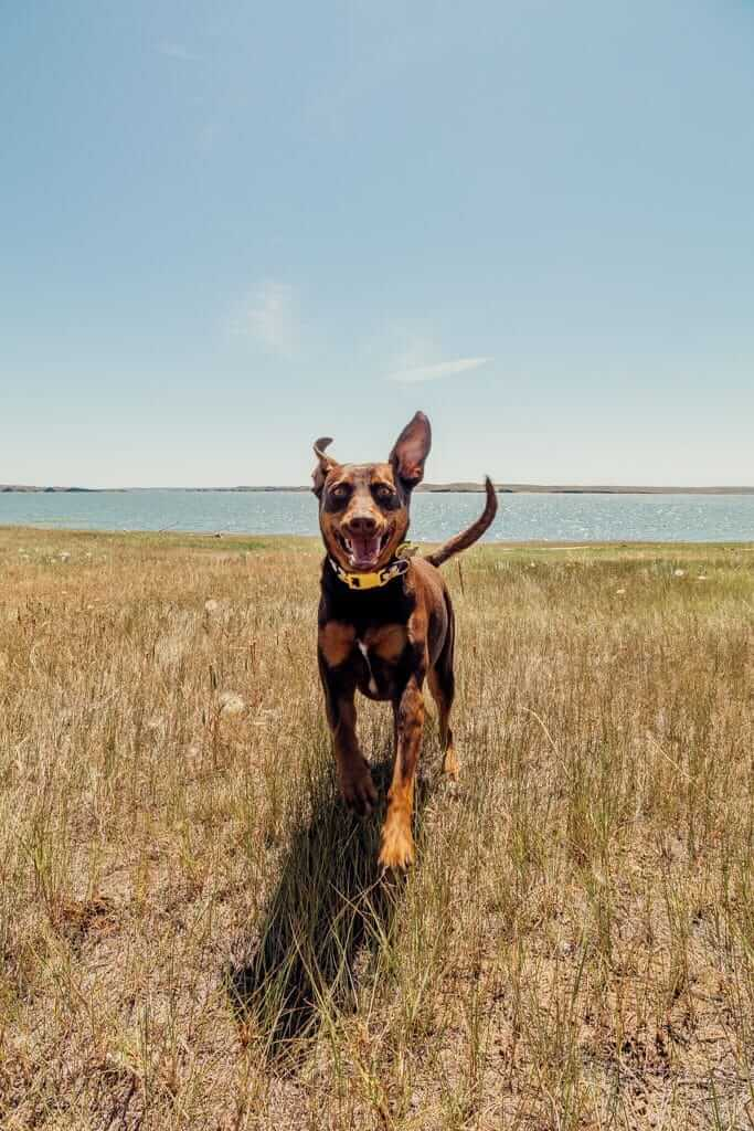 Dog running in an open field with a lake in the background.