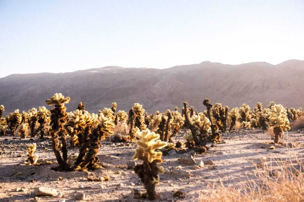 Desert with lots of Cholla Cacti around in the Cholla Garden in Joshua Tree National Park