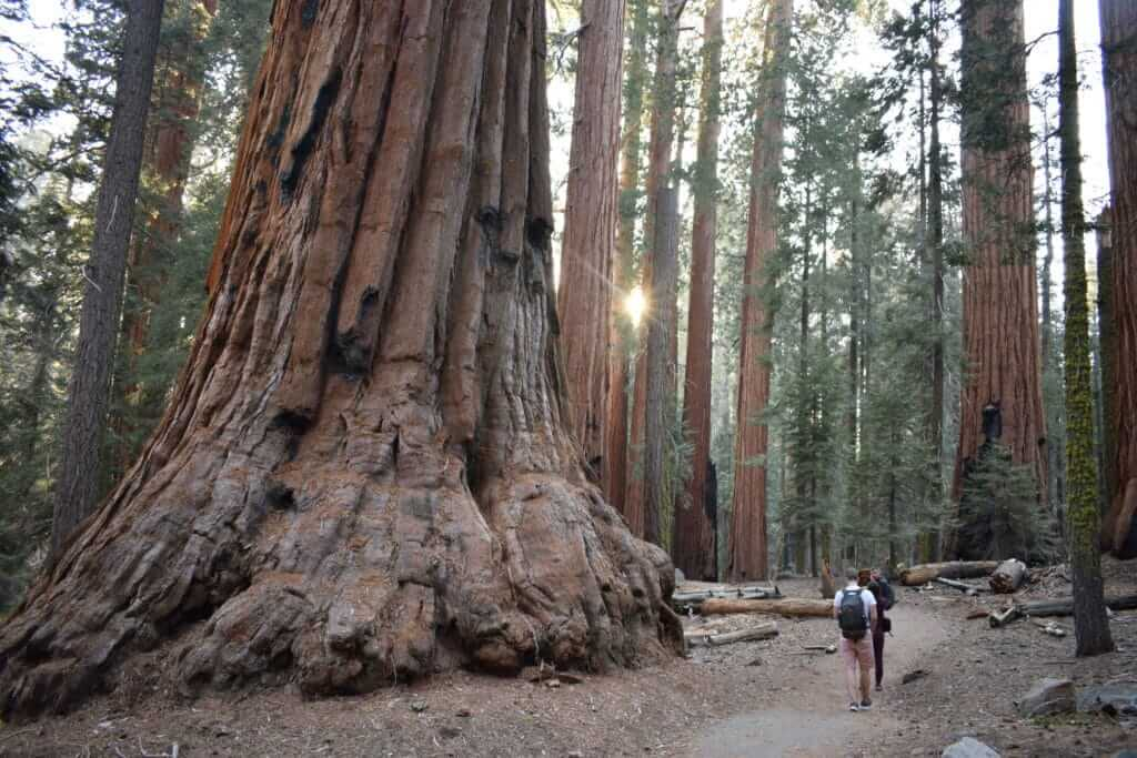 Man and woman walking next to giant trees in Sequoia National Park