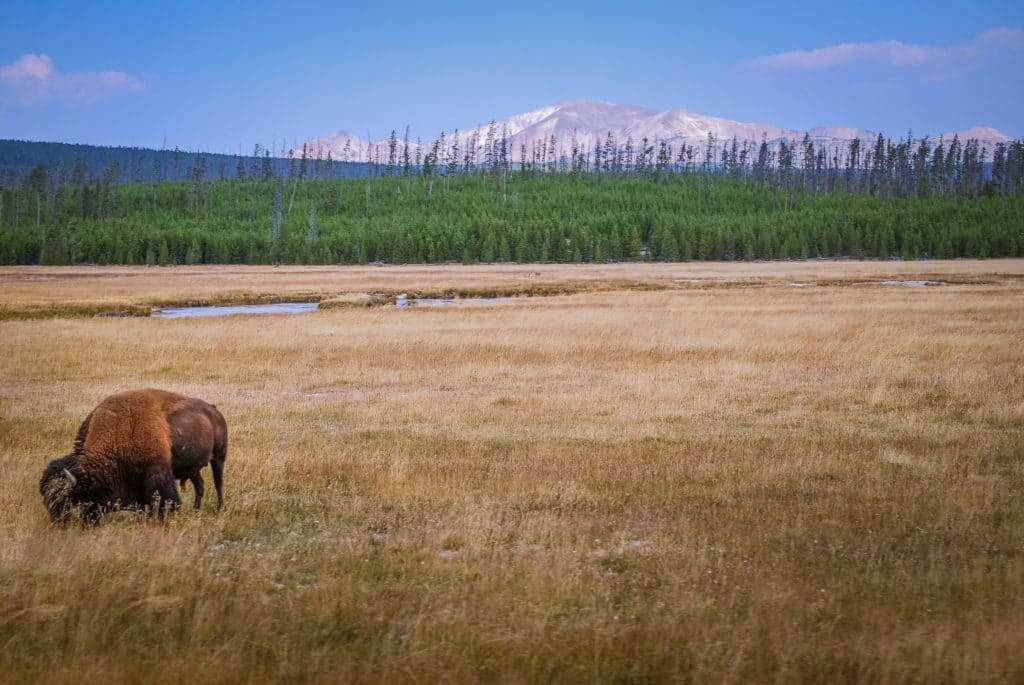 Buffalo in field of Montana, a great state for full-time RVers domicile
