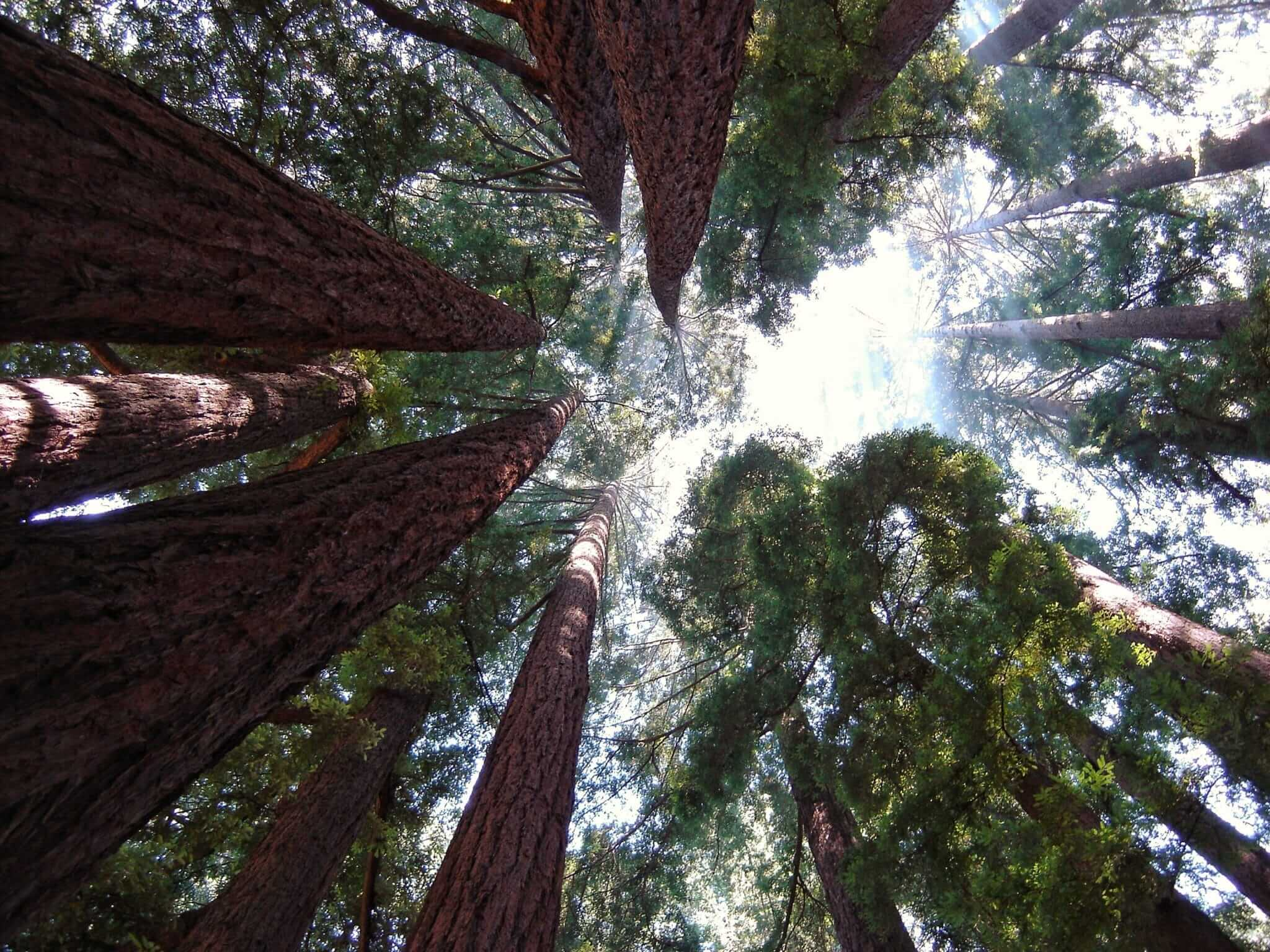 Image of redwood trees, looking straight up to the sky