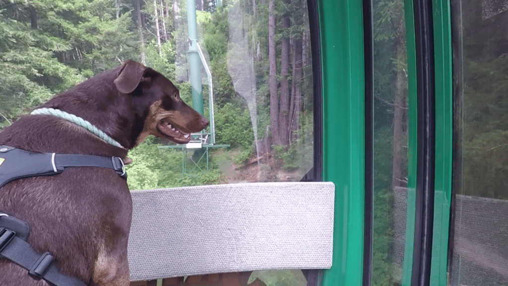 Dog looking out the window of a cable car on Sky Trail at the Trees of Mystery