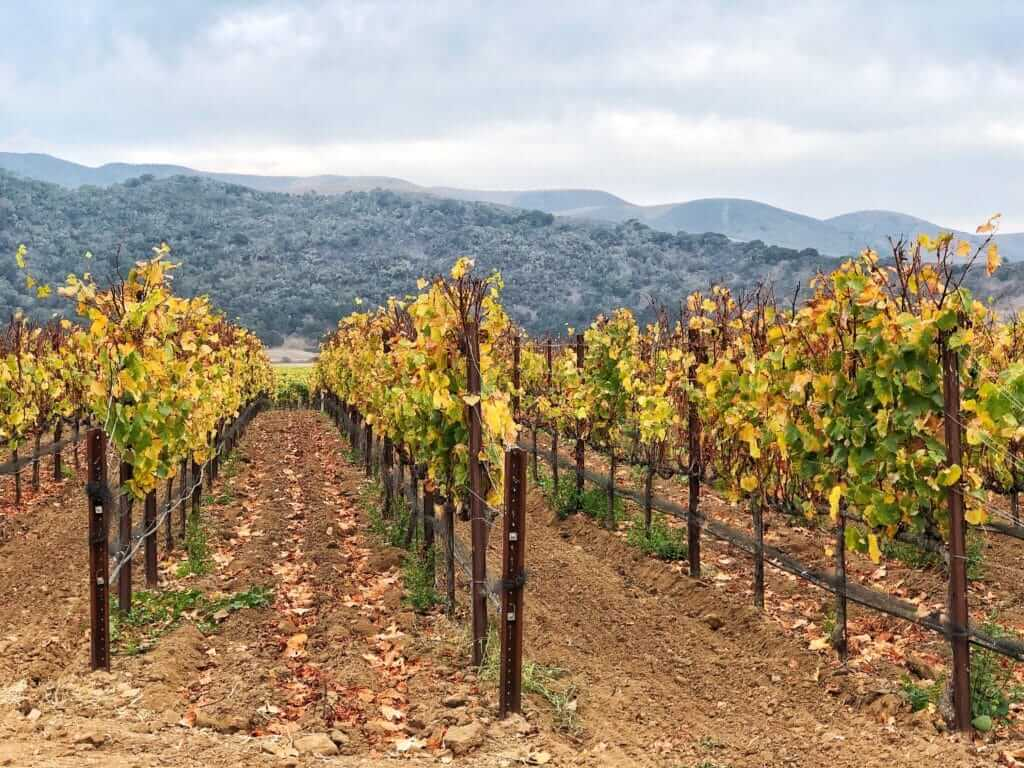 Vineyard with yellowish leaves and mountains in the background. Wine tasting is one of the best things to do in Santa Barbara.