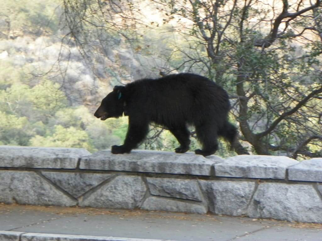 Bear climbing on a rock ledge, be bear aware when Sequoia National Park Camping