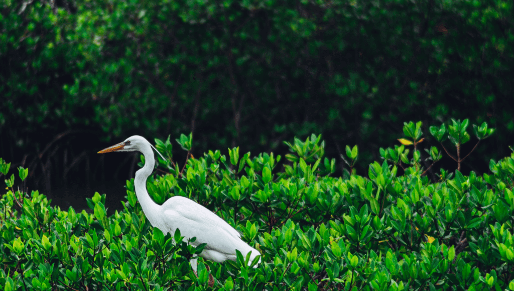 A beautiful white egret walks in the lush greenery which is one experience you might encounter at Thousand Trails Orlando.