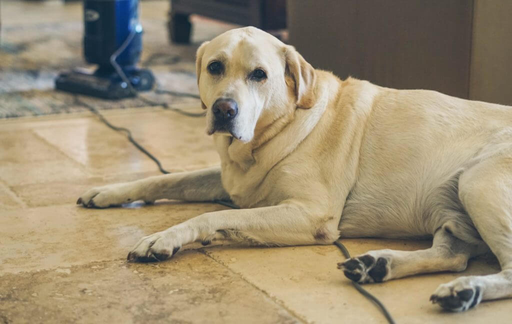 A golden labrador lays on the floor of the rv across the vacuum cord in protest of the vacuuming being done.