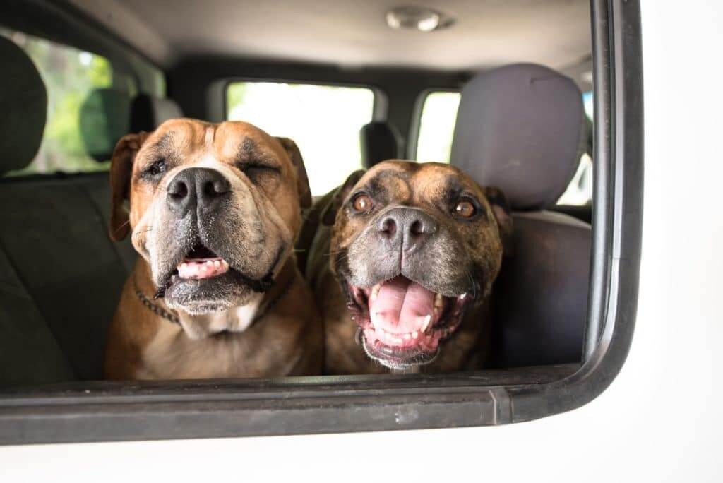 Two dogs in the backseat of a truck. Traveling with pets should factor into your decision of motorhome vs travel trailer.