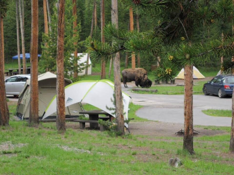 A campground in Yellowstone with a bison eating grass in the background. People are able to stay here after learning tips for Yellowstone camping reservations.