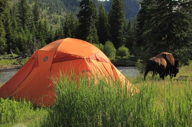 A bison eating grass outside of an orange tent next to a river. To get views like this be sure to know our yellowstone camping reservations tips.