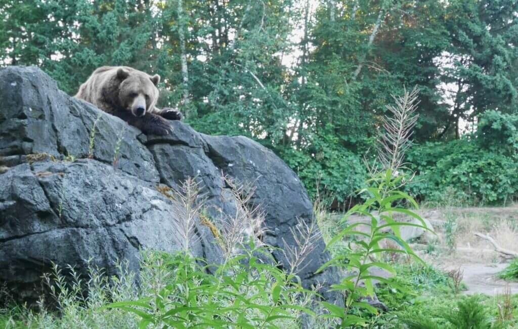A bear peeking over a large rock with trees in the background.