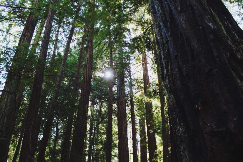 Looking up at redwood trees with sun peeking through the branches. Forest spot are available when considering your Santa Cruz camping options.