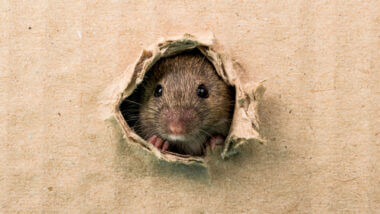 A mouse head pokes through a cardboard hole - how do you deter a mouse from your RV?