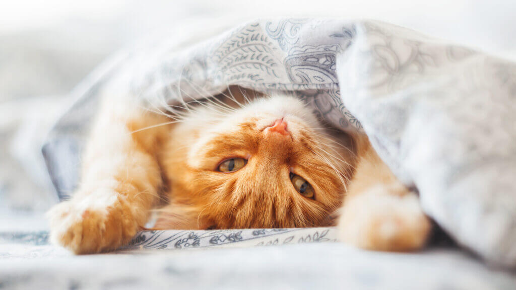 A cat lounges lazily upside down under a blanket.