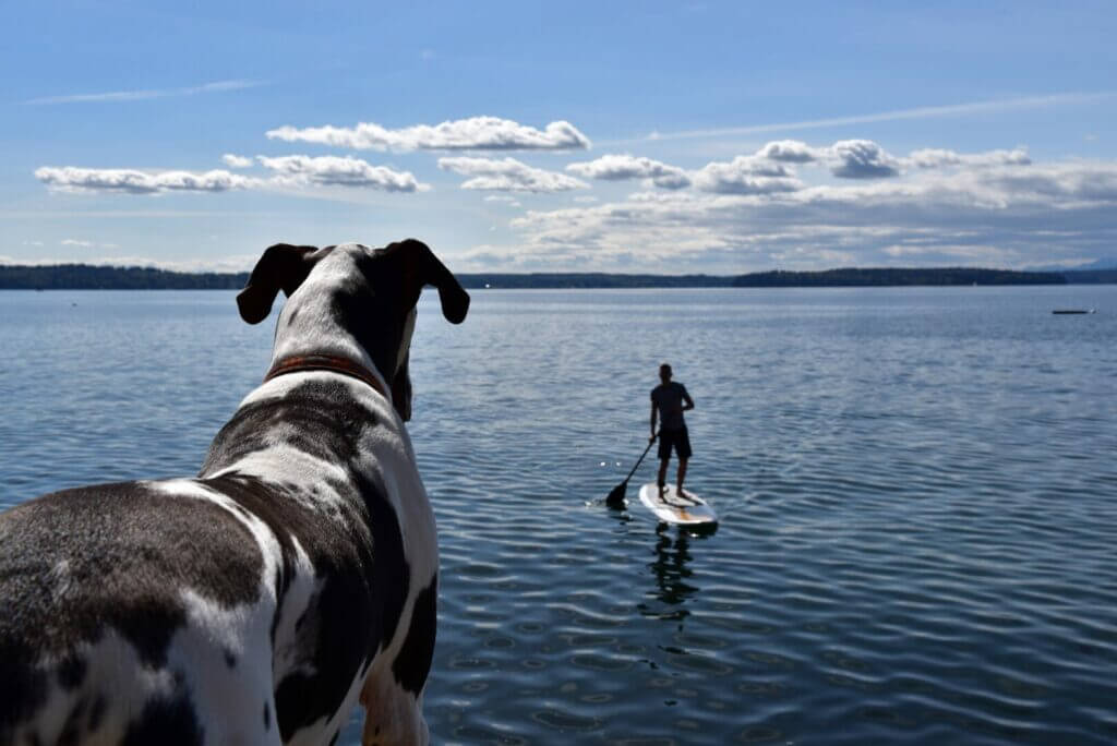 A man on a stand up paddle board with a dog watching him. When Sugar Pine Reservoir camping you can swim in the water