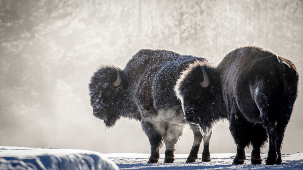 A couple of bison glow in the reflective snow.