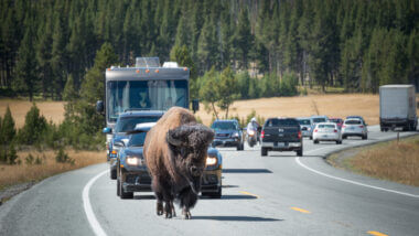 A bison holds back traffic in Yellowstone which has already experienced record breaking visitors this year.