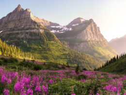 Glacier National Park glows in the alpine sun with purple wildflowers in bloom.