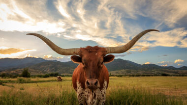 A texas longhorn looks at the camera with clouds overhead and more cows in the back.