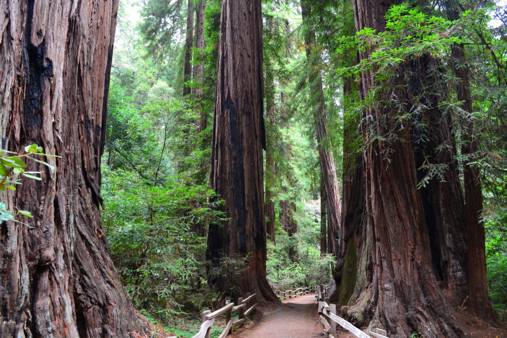 Following a path through Muir Woods between the vast redwood trees of the forest.
