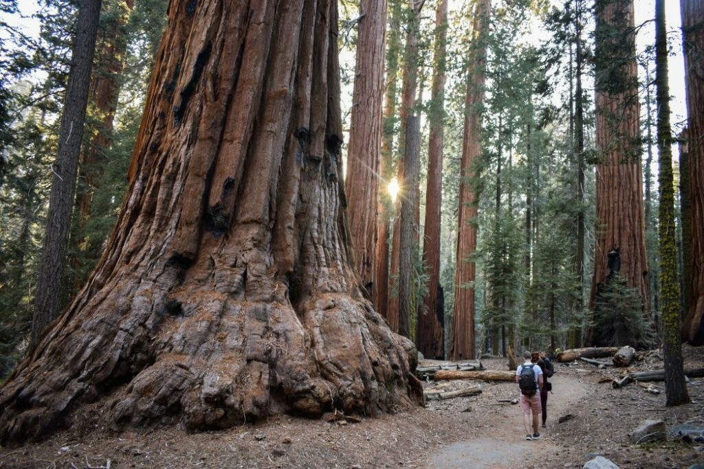Friends are walking among the giant trees in the beautiful sequoia forest, California, the USA.